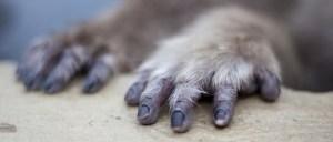 Macaque Hands