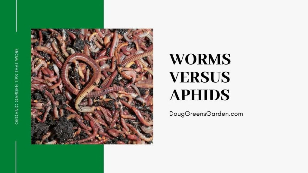 worms vs aphids graphic