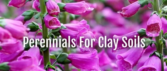 perennials clay soils