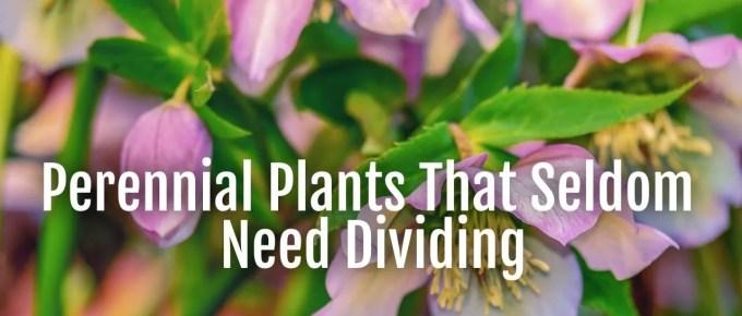 perennials seldom divide