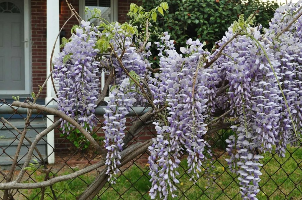 Why You Won T Get A Wisteria Tree From Seed