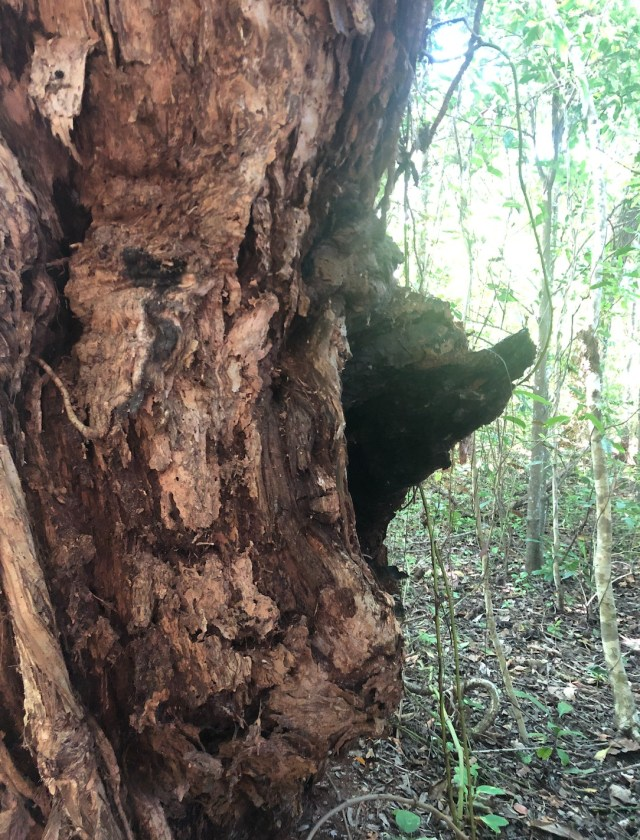 The scar from fires on an old Melaleuca leucadendra tree in the littoral rainforest on Four Mile Beach.