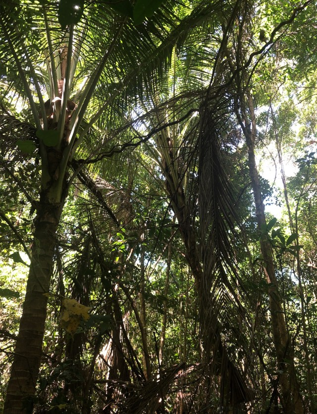 Coconut palms being shaded out by faster growing tree species inside the littoral rainforest on Four Mile Beach.