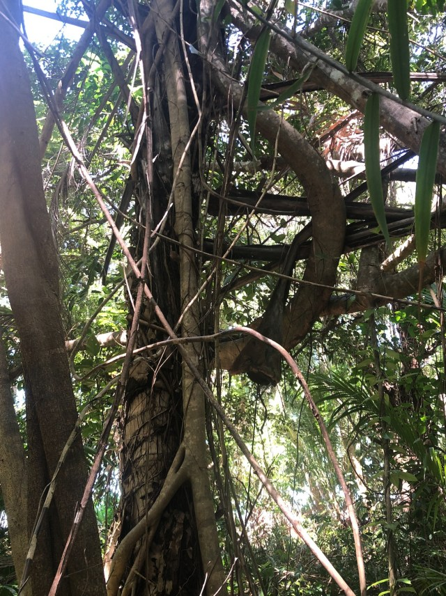 A mature coconut palm inside the littoral forest on Four Mile Beach being strangled and killed by a young coastal banyan, Ficus microcarpa