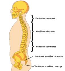 anatomie-colonne-vertebrale