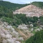 吉野山の千本桜
