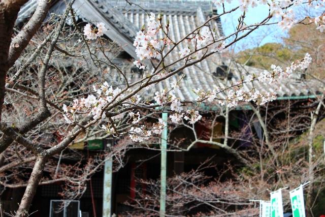 紀三井寺 さくら