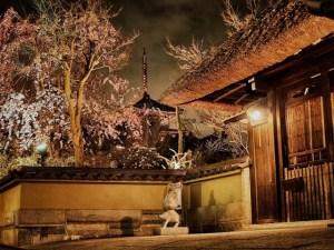京都春のライトアップ 高台寺