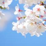 桜 開花予想 関東地方 2017