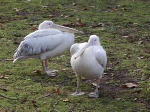 pelicansstjamespark