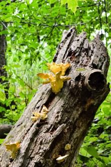 Fungus on a dead tree