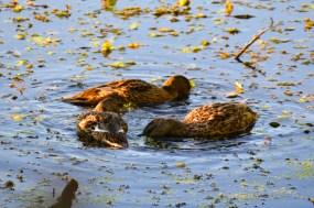 Three ducks swimming in a circle
