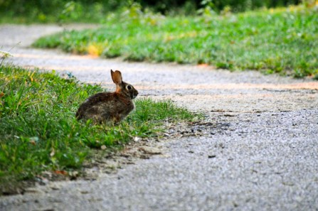 Rabbit beside a path