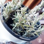 Propagate Lavender From Cuttings