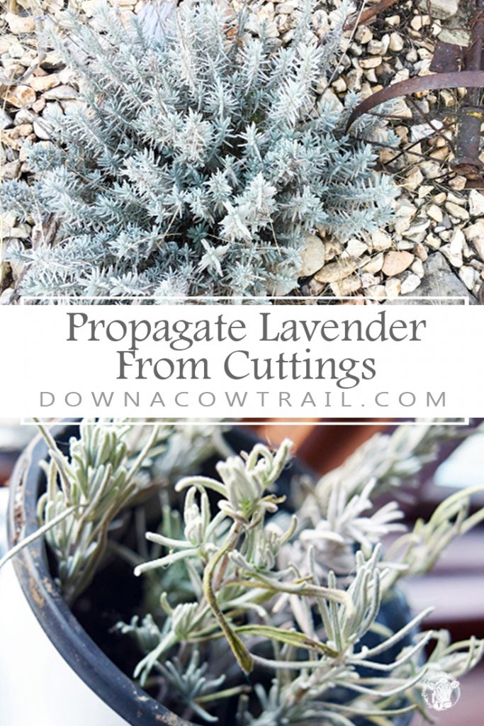 from cuttings. You'll have rows of baby lavender in no time!