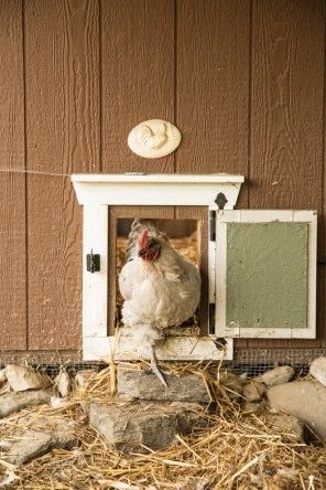 Violet, a Lavender Orpington with a sweet disposition, emerges from the chicken coop. The building is a prefab garden shed that Steele has outfitted with nesting boxes and roosts.