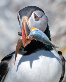 close up of puffin carrying fish