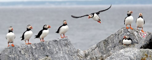 group of puffins on a rock