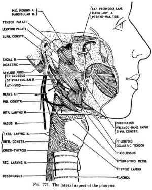 Diagram Of Pharynx   Wiring Diagram