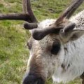 Sporran the Reindeer