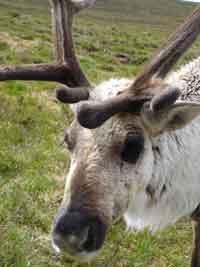 Sporran the Reindeer