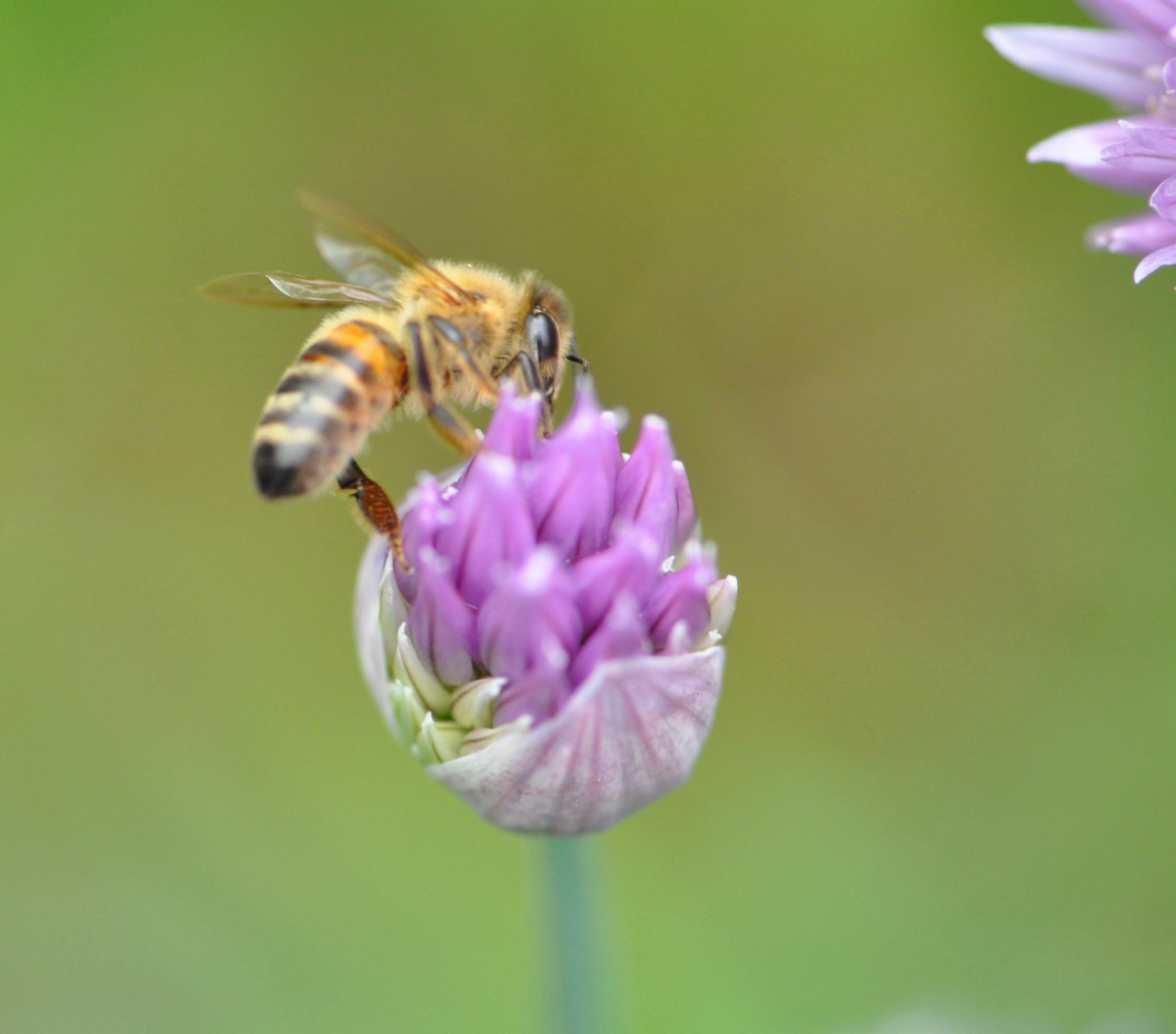 honey bee on chive blossom