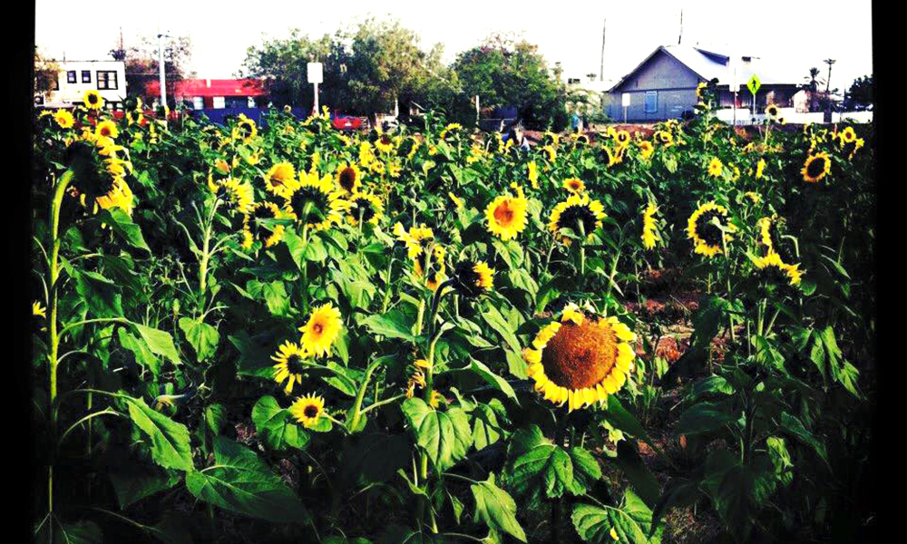The Valley of the Sunflowers project filled the empty two acre lot between Garfield and McKinley St and 5th and 6th St with sunflowers that were later harvested by Phoenix Bioscience High School students and pressed into biofuels. (Courtesy of Stacey Champion)