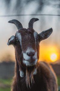 dancing goats folkfest