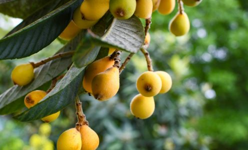 The Florida Loquat Festival returns to NPR!