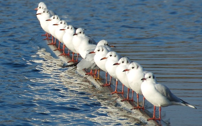 Birds-Line-Of-Seagulls-Wallpaper