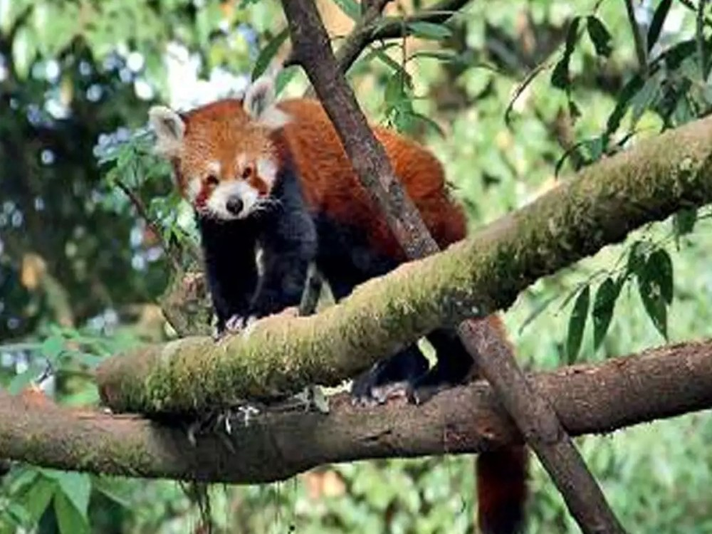 Red Panda in Darjeeling