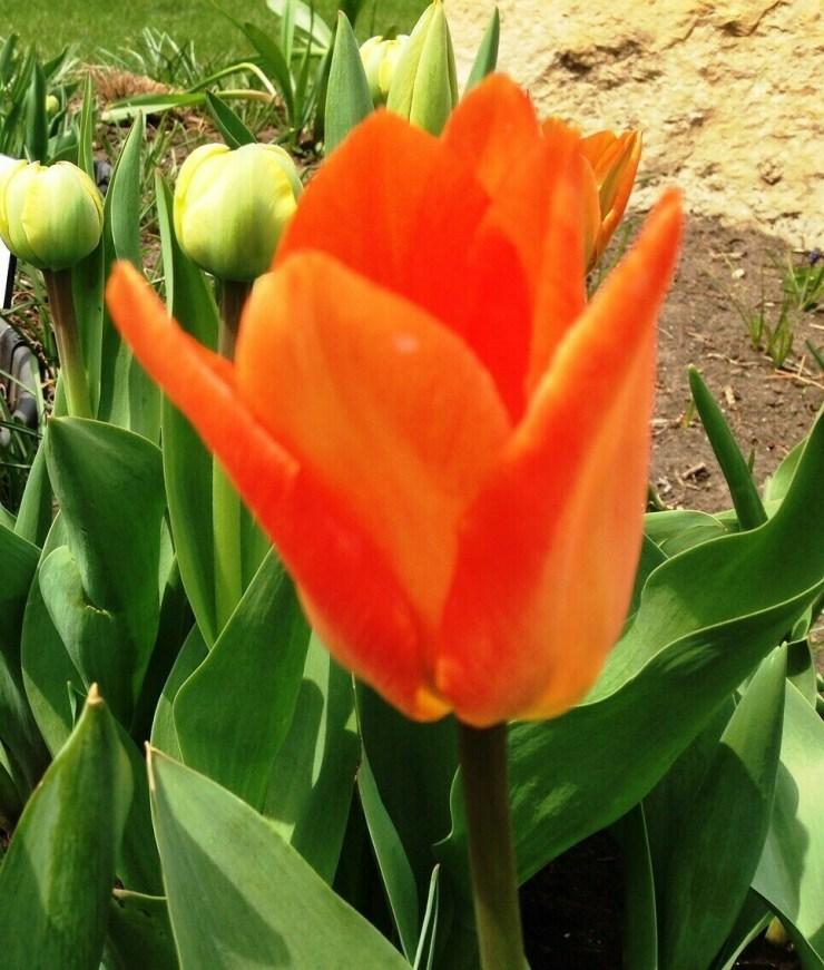 Fosteriana Orange Emperor (10 bulbs)