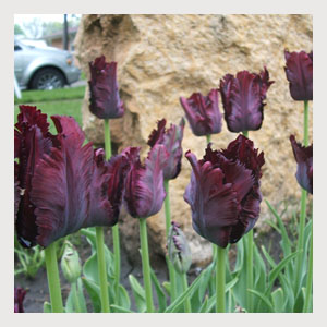 Black Parrot (10 Bulbs)