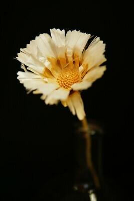 Hailey Protea
