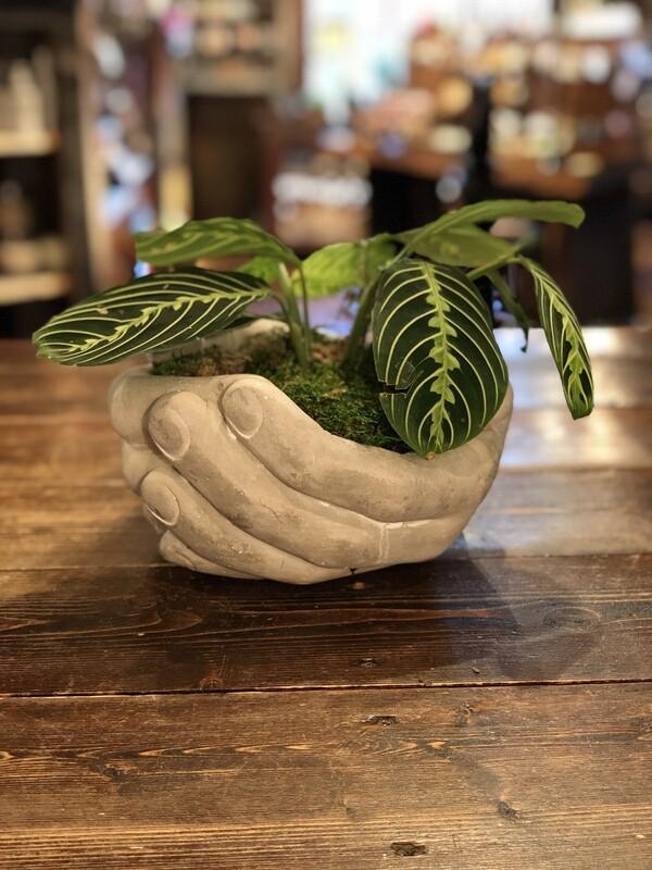 Helping Hands Prayer Plant Large