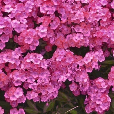 Garden phlox Glamour Girl (gallon)