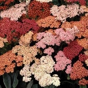 Yarrow  (gallon)