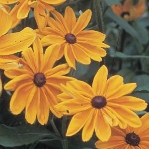 Black-eyed Susan Rudbeckia Indian Summer (gallon)