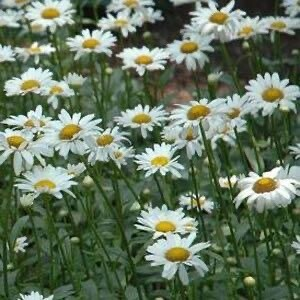 Shasta Daisy (gallon)