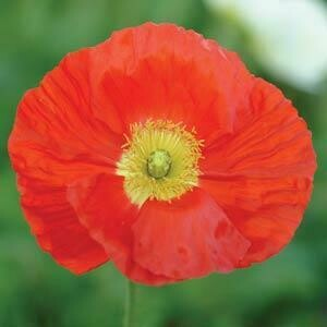 Icelandic Poppy Scarlet-gallon