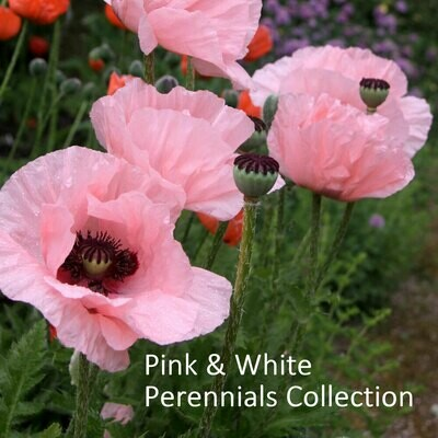 Pink & White Perennials Seed Collection