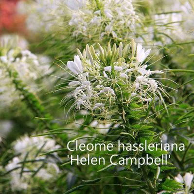 Cleome hassleriana 'Helen Campbell'