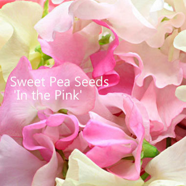 Sweet Pea Seeds Mix 'In the Pink'