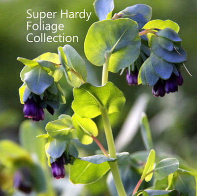 Super Hardy Foliage Collection