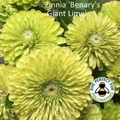 Zinnia 'Benary's Giant Lime'