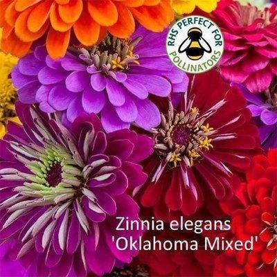 Zinnia 'Oklahoma Mixed'