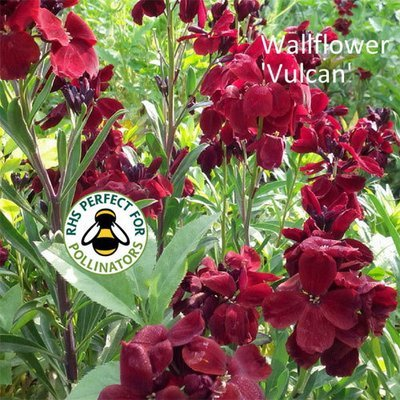 Wallflower 'Vulcan'