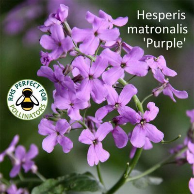 Hesperis matronalis 'Purple' Seeds
