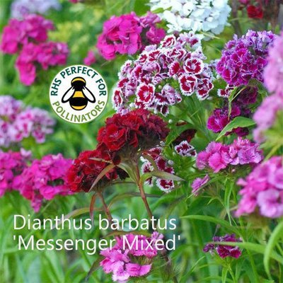 Dianthus barbatus 'Messenger Mixed'