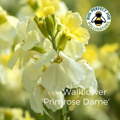 Wallflower 'Primrose Dame'